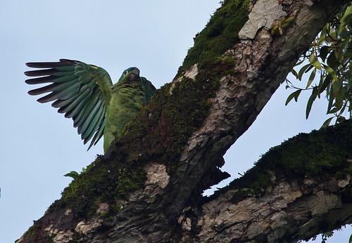 Mealy Parrot (Amazona farinosa) - Mjölamazon