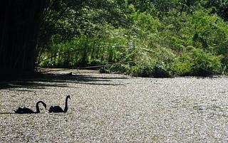 صورة Botanical Garden قرب بورتو أليغري. fauna swan portoalegre botanicalgarden blackswan
