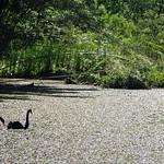 Bild von Botanical Garden in der Nähe von Porto Alegre. fauna swan portoalegre botanicalgarden blackswan