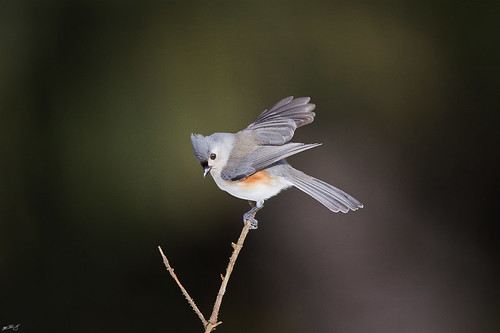 nature birds canon wildlife 7d titmouse tuftedtitmouse wildbirds 600mm tuftedtit birdstnc11
