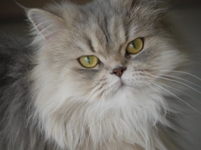 Grey Persian Cat | Flickr - Photo Sharing!