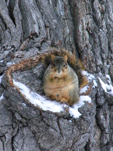 215/365/945 (January 12, 2011) – Squirrel in Winter (University of Michigan, Ann Arbor)