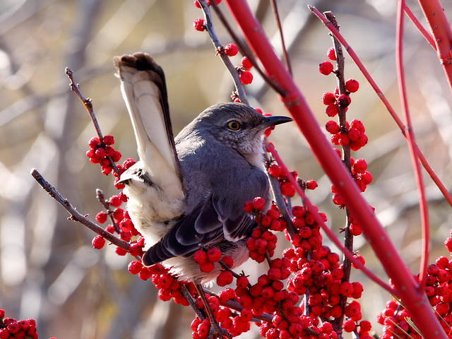 Northern Mockingbird at USBG