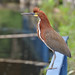 Rufescent Tiger-Heron - Photo (c) Cláudio Dias Timm, some rights reserved (CC BY-NC-SA)