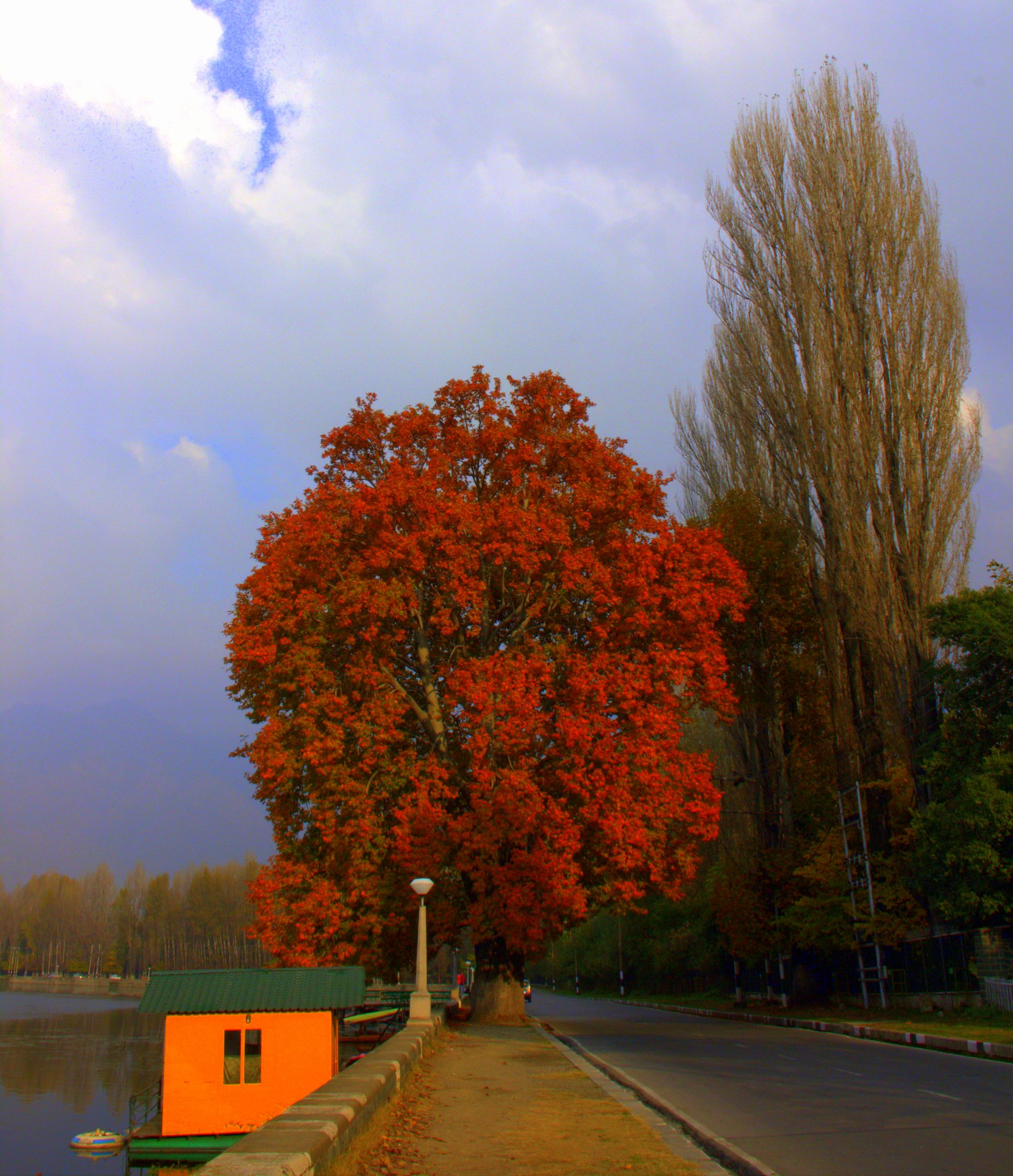 autumn colours of chinar tree in kashmir