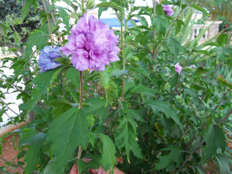 Hibiscus syriacus 'Ardens' 1