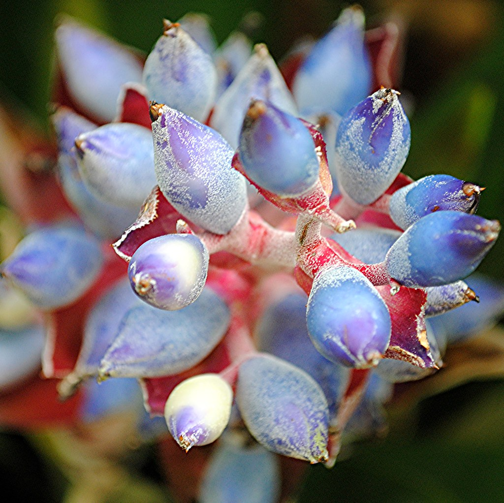 Wondrous blue Bromeliad with rosy stems... Aechmea woronowii