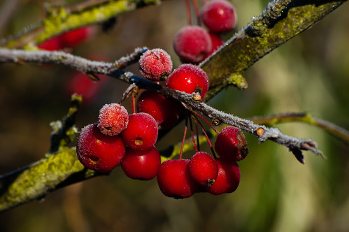 Crab apples with a dusting of frost
