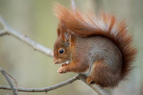 Un écureuil en plein hiver I. by Zed The Dragon