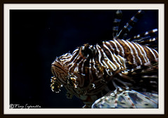 Lion Fish in Dubai Aquarium