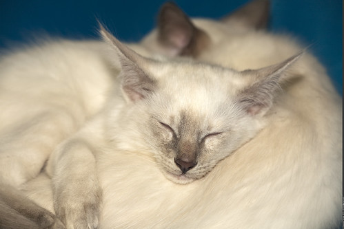 The Balinese and Javanese cat breeds are beautiful and social. Keep reading to learn about their history, appearance, and personalities.