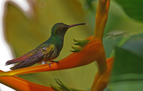 Rufous-tailed Hummingbird (Amazilia tzacatl) - Roststjärtad kolibri