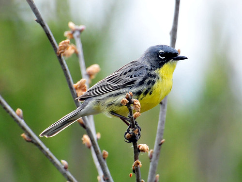 Wisconsin Birding Green Bay