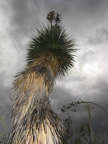 arizona usa unitedstatesofamerica gps succulents 2010 sanmanuel soaptreeyuccayuccaelatapalmilla