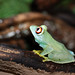 Barbour's Tree Frog - Photo (c) Loïc  Denès, some rights reserved (CC BY-NC-SA)