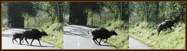 Bisons Crossing The Road - Valparai