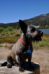 animal, dog, pet, mammal, vulnerable native breeds, schnauzer, scottish terrier, terrier,