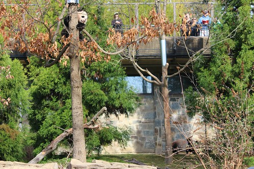 Mei Xiang leaves Bao Bao in the tree