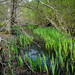 Small photo of Irises near Salhouse, Norfolk