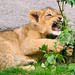 Biting on the plants by Tambako the Jaguar