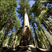 USA - Sequoia National Park - Towering trees
