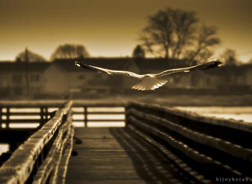 bird boston flying flight dream tamron2875mm