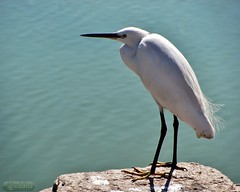 animal, wing, fauna, little blue heron, heron, pelecaniformes, beak, bird, wildlife, egret,