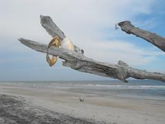 eagle(0.0), wing(0.0), driftwood(1.0), beach(1.0), wood(1.0), sea(1.0), coast(1.0), seabird(1.0),