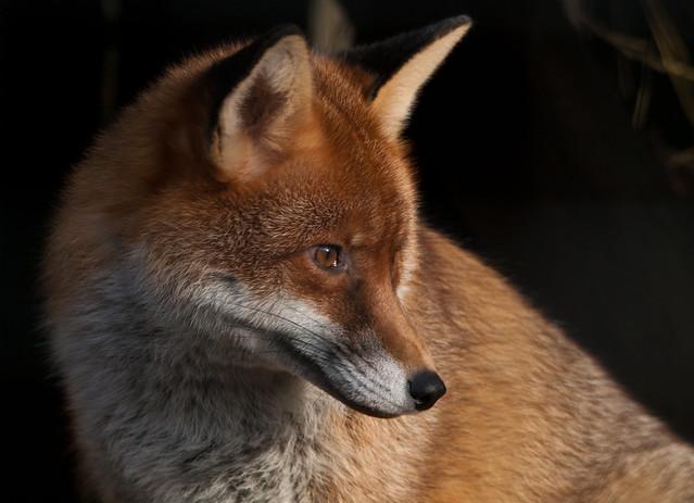 red fox close up   Flickr - Photo Sharing!