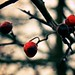Berries in the cold