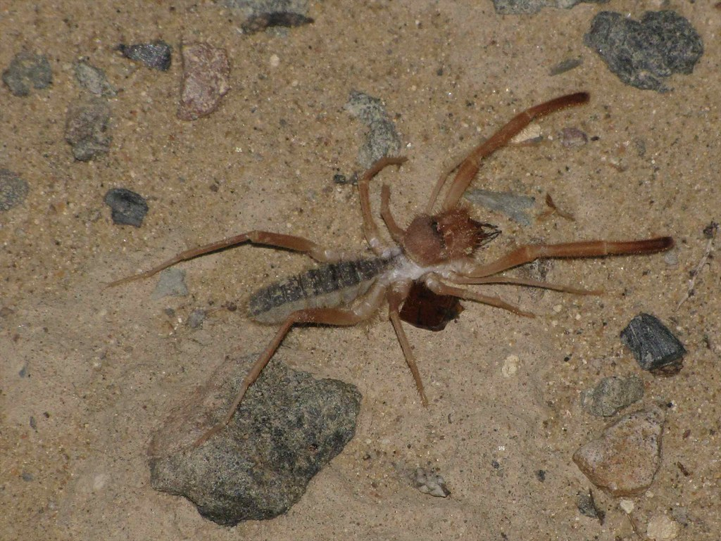 Pale Windscorpion (Eremobates sp. - Sun Spider); Cabezón Peak, SW of Cuba, NM
