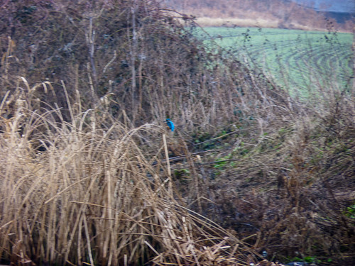 Kingfisher in a bed of reeds