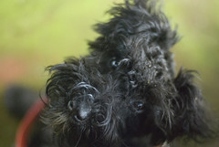 pumi(0.0), cairn terrier(0.0), miniature schnauzer(0.0), dog breed(1.0), animal(1.0), dog(1.0), schnoodle(1.0), pet(1.0), mammal(1.0), bolonka(1.0), havanese(1.0), affenpinscher(1.0), terrier(1.0),