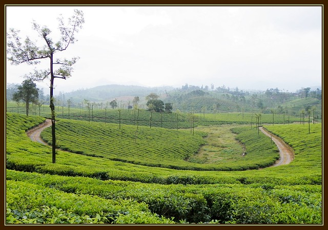 U-Path in Tea Estate at Valparai