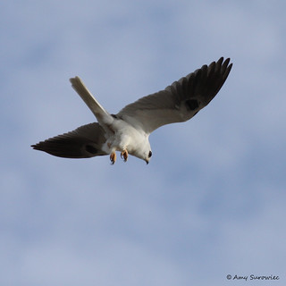 White Tailed Kite (+ 1 in comments)