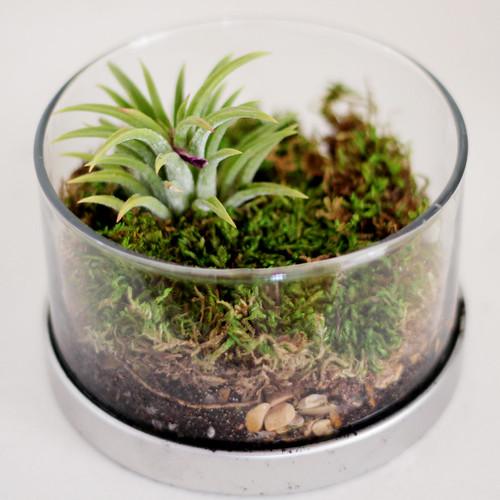 Miniature Gardens Tillandsia Terrariums Radmegan