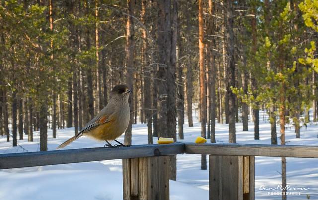 An Arctic Adventure in Swedish Lapland - Siberien Jay