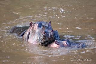 Mara River - Hippos