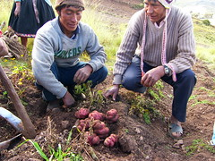 Fri, 18/04/2008 - 09:23 - Farmers showing traditional varieties in the Potato Park, Cusco, Peru
