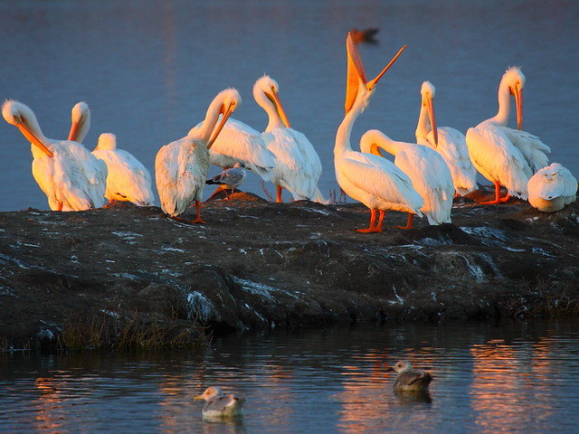 IMG_2114 American White Pelican