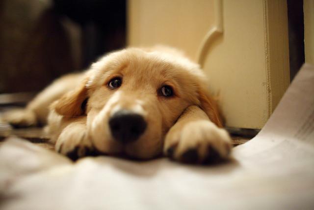 Funny Cute Puppy Golden Retriever