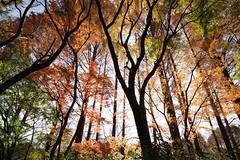 [フリー画像素材] 自然風景, 森林, 樹木, 紅葉・黄葉, 風景 - 日本 ID:201201052200