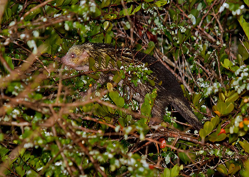 Mexican Porcupine – Coendou mexican