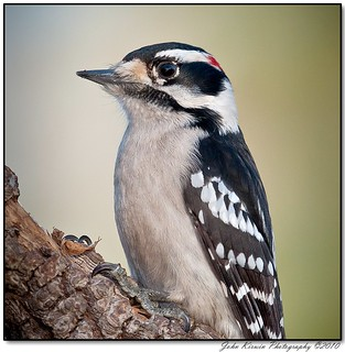 Downy-Woodpecker-113