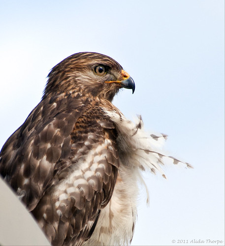 Jupiter, Florida hawk by Alida's Photos