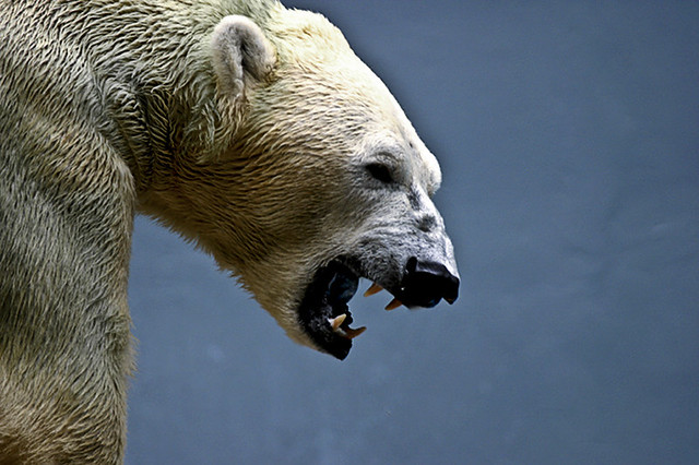 Polar Bear Roar