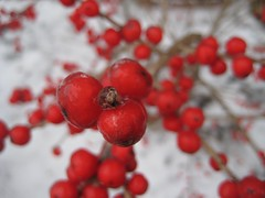 Iced red berries