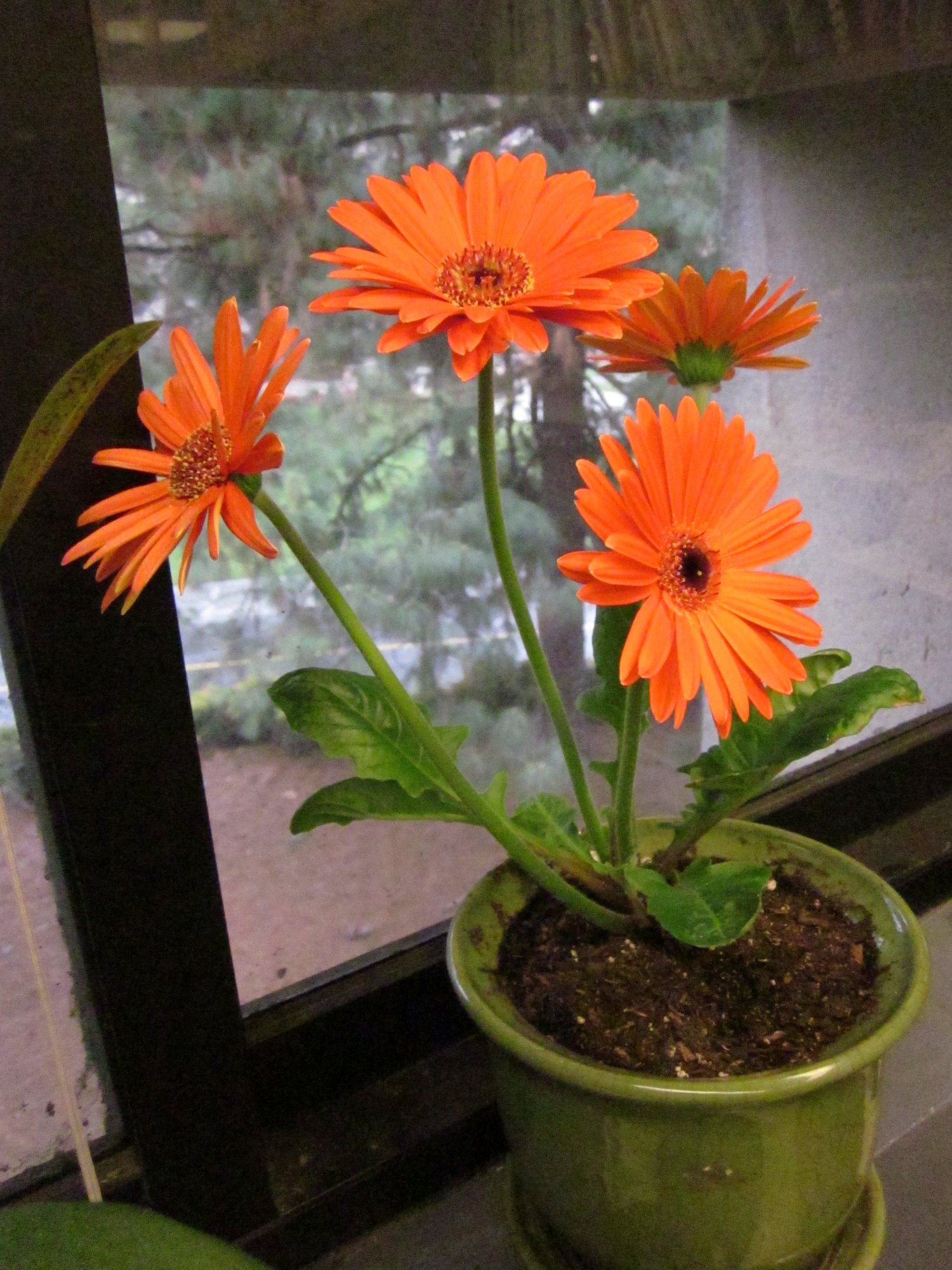 Gerbera daisy plant 3404891 sciencemadesimplefo this page contains information about gerbera daisy plant izmirmasajfo Images