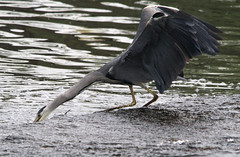 Heron at full stretch