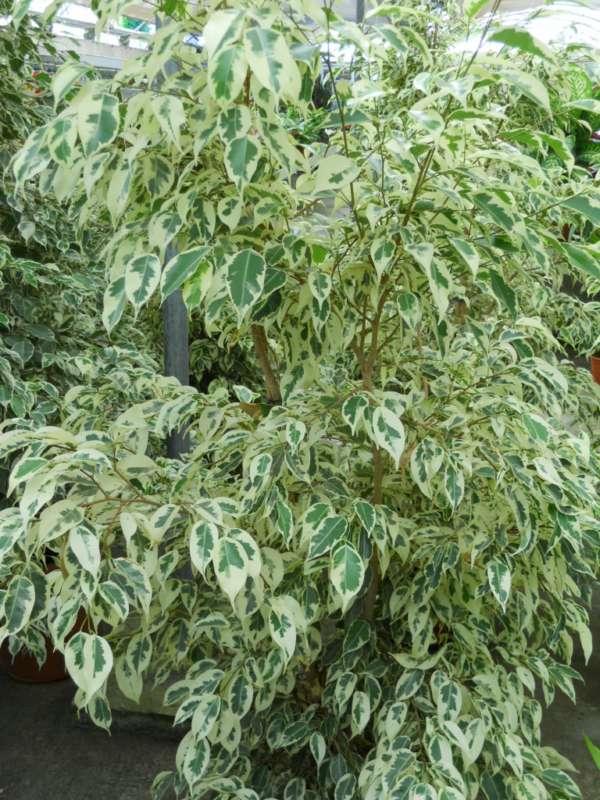 Ficus benjamina 'Starlight' v 1
